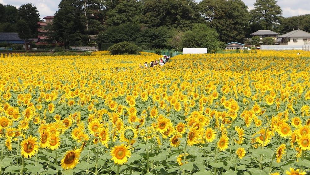 Kiyose_sunflower.jpg