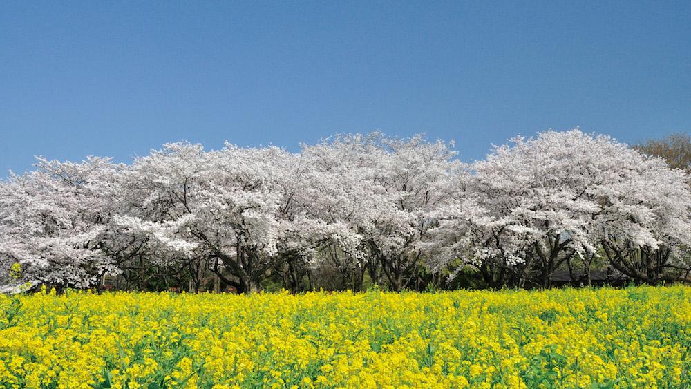 Showa-Kinen-Park3.jpg
