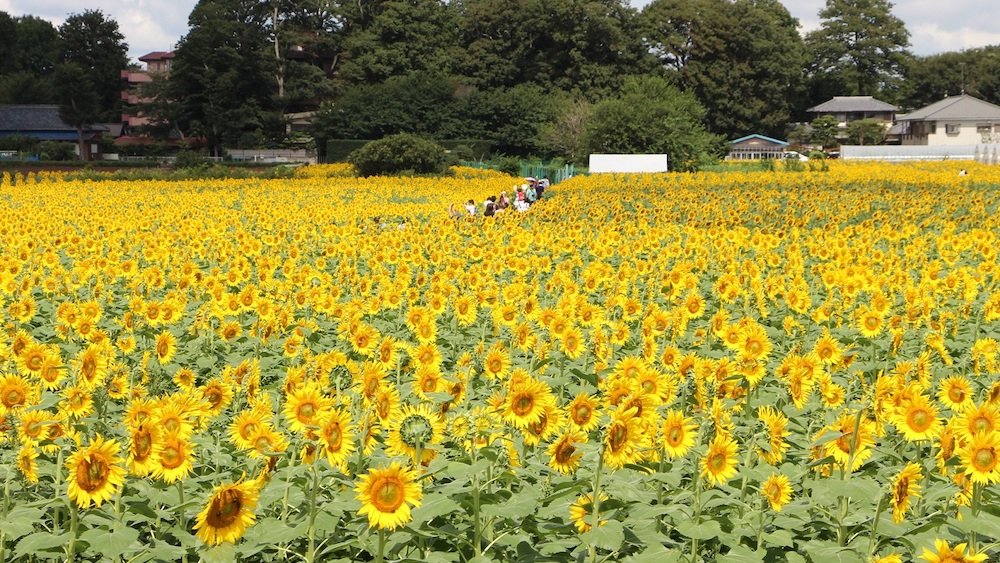 Kiyose_sunflower