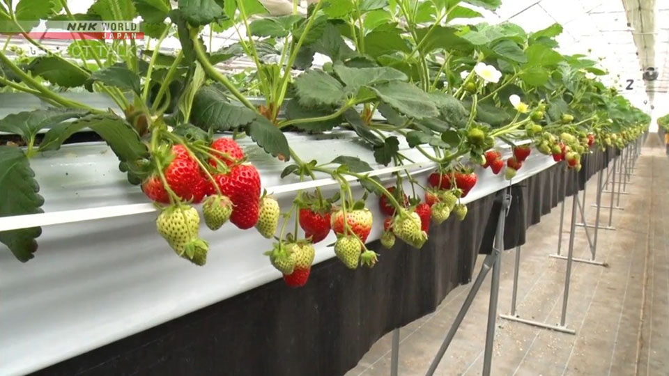 Luxury-quality strawberries created by cutting edge technology used in the strawberry greenhouses