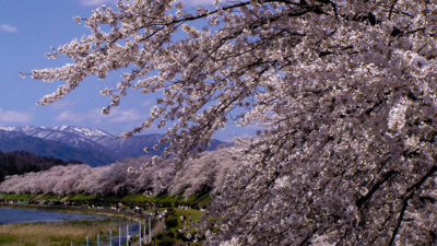 Cherry Blossoms along the banks of Hinokinaigawa River