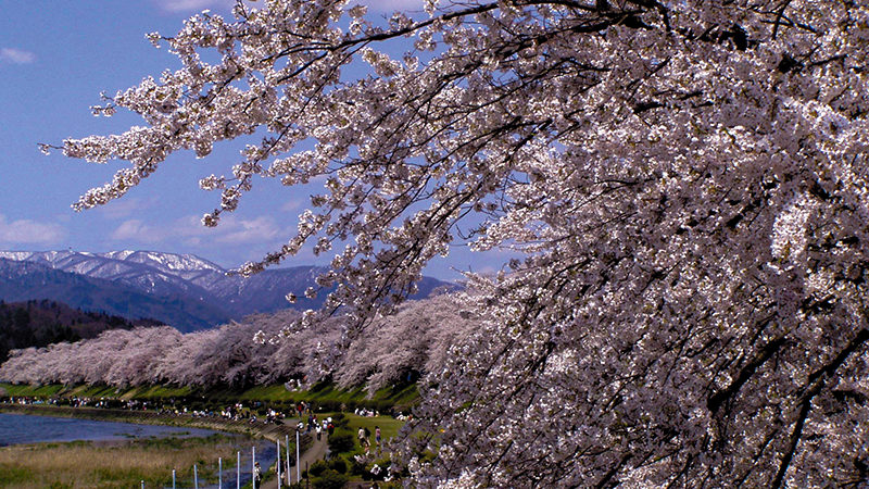 Cherry Blossoms along the banks of Hinokinaigawa River