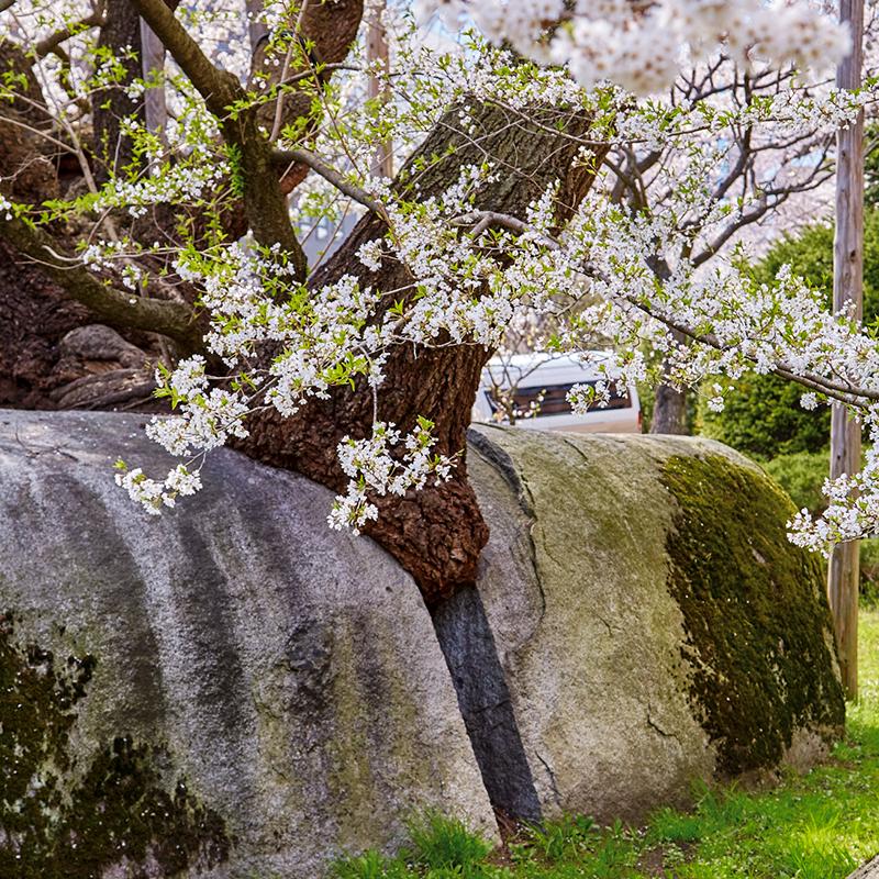 Magnificent Rock-breaking Sakura