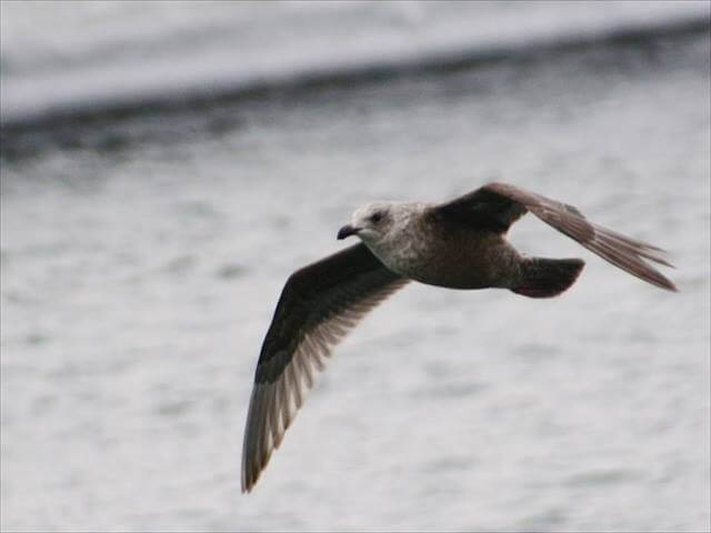 Black-tailed gull (Kamome)