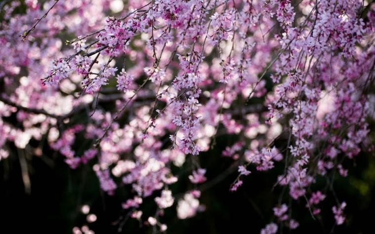 Close up cherry blossom