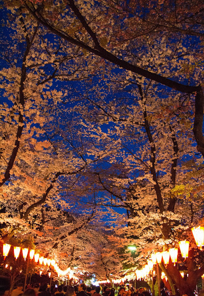 cherry blossoms night view
