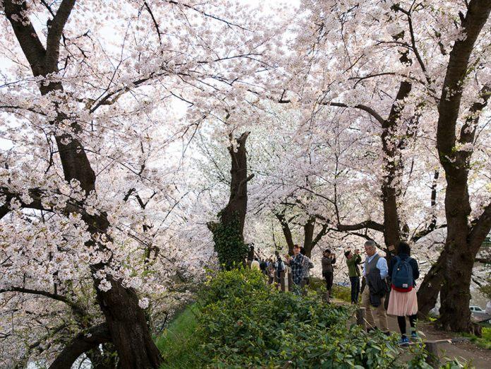 Yamagata Sakura Matsuri