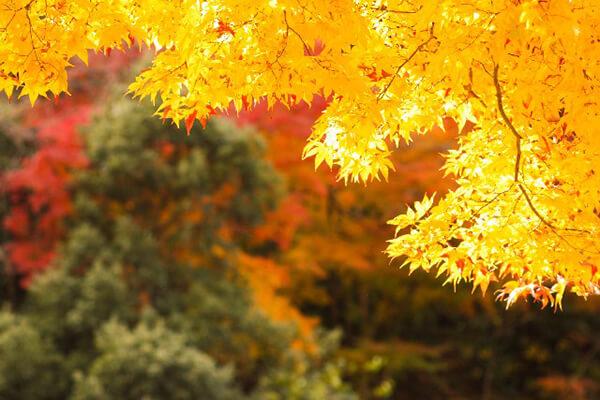 Japanese Autumn Activity: Maple Hunting