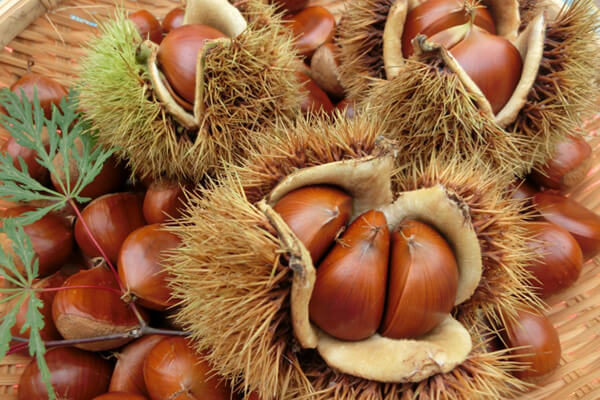 Japanese Chestnut Gathering