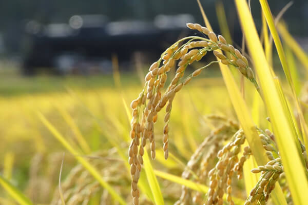 Traditional Japanese Rice Harvest