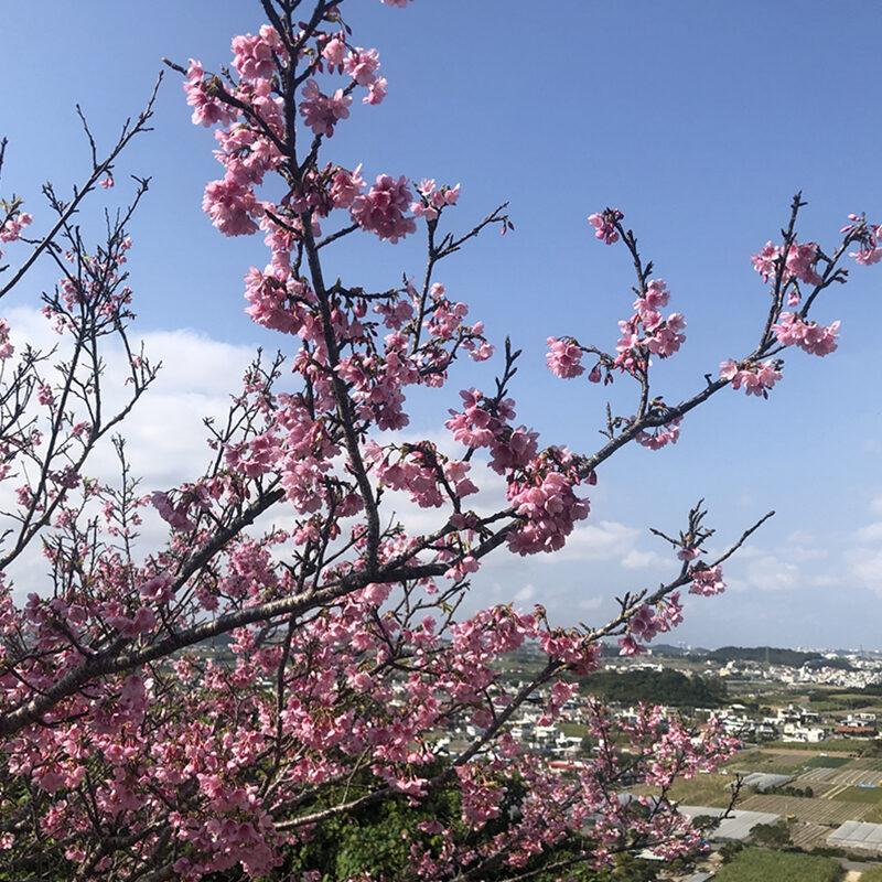 八重瀬公園桜