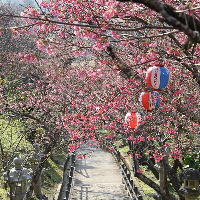 Nago Central Park Cherry Blossoms