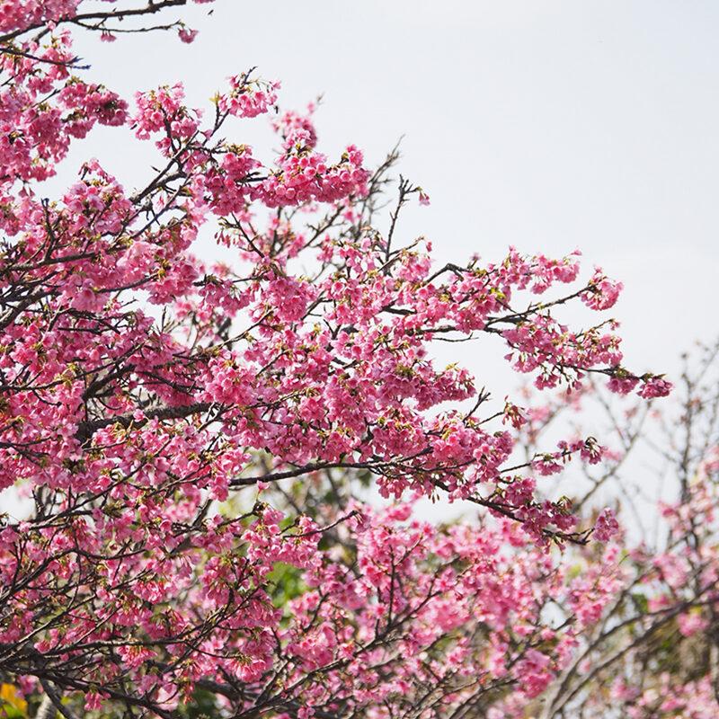 Manko Park Cherry Blossoms