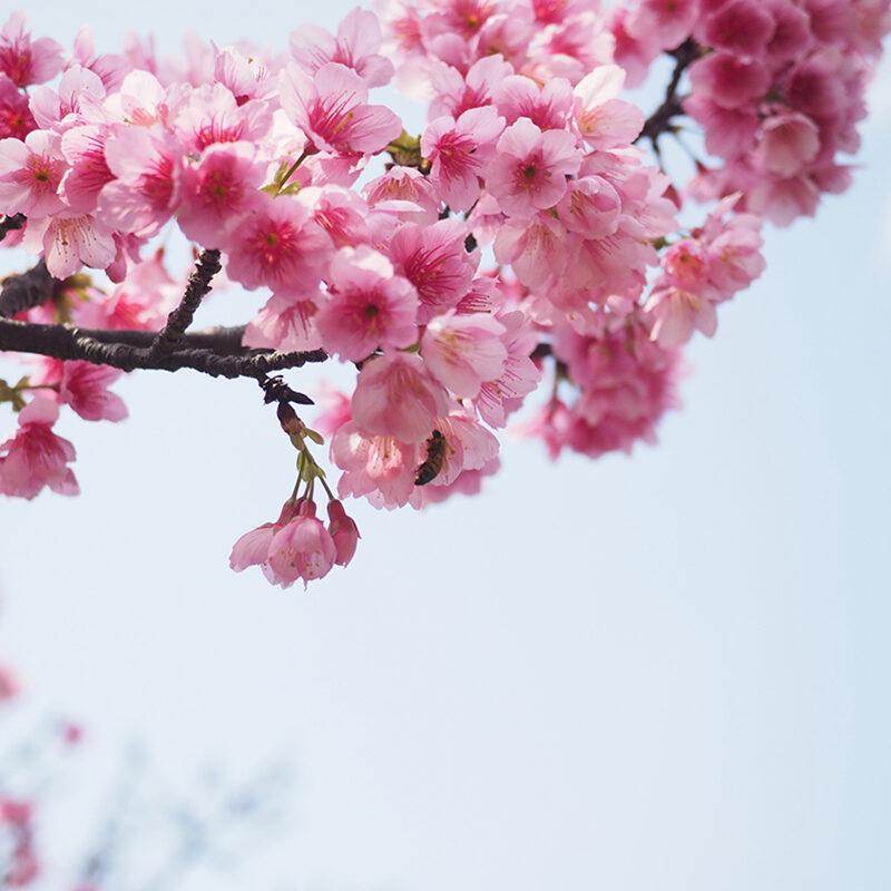 Naha Cherry Blossoms Okinawa