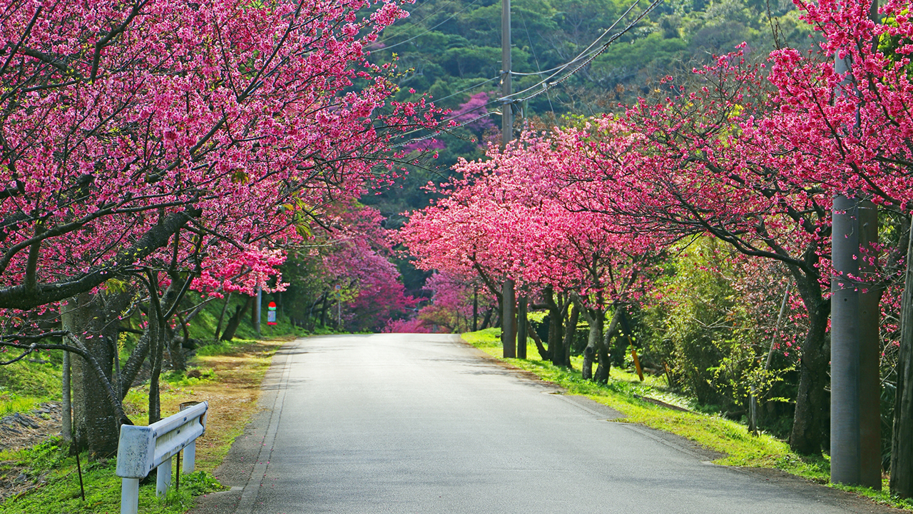 Ultimate Cherry Blossom Map In Okinawa Wattention Com