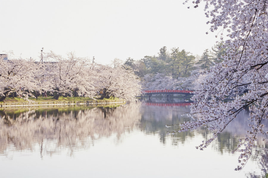 Hirosaki cherry blossoms by the water