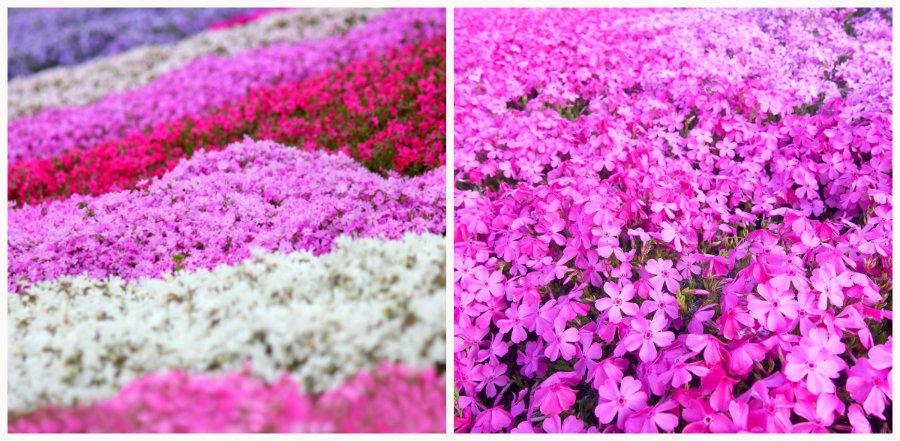 shibazakura blossoms close up
