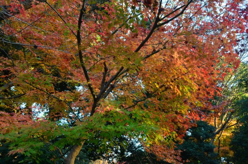 Ueno Park Autumn Red Leaves