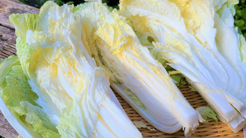 Japanese winter cabbage